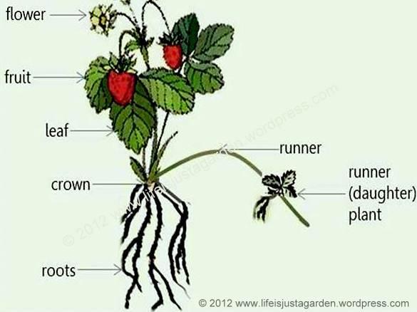strawberry plant diagram lifeisjustagarden rh lifeisjustagarden wordpress com Cambiums Plant Clip Arts Diagram Cambiums Plant Clip Arts Diagram