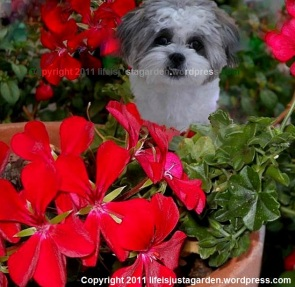 Cally The Mischievous Shih-Tzu hiding in geraniums