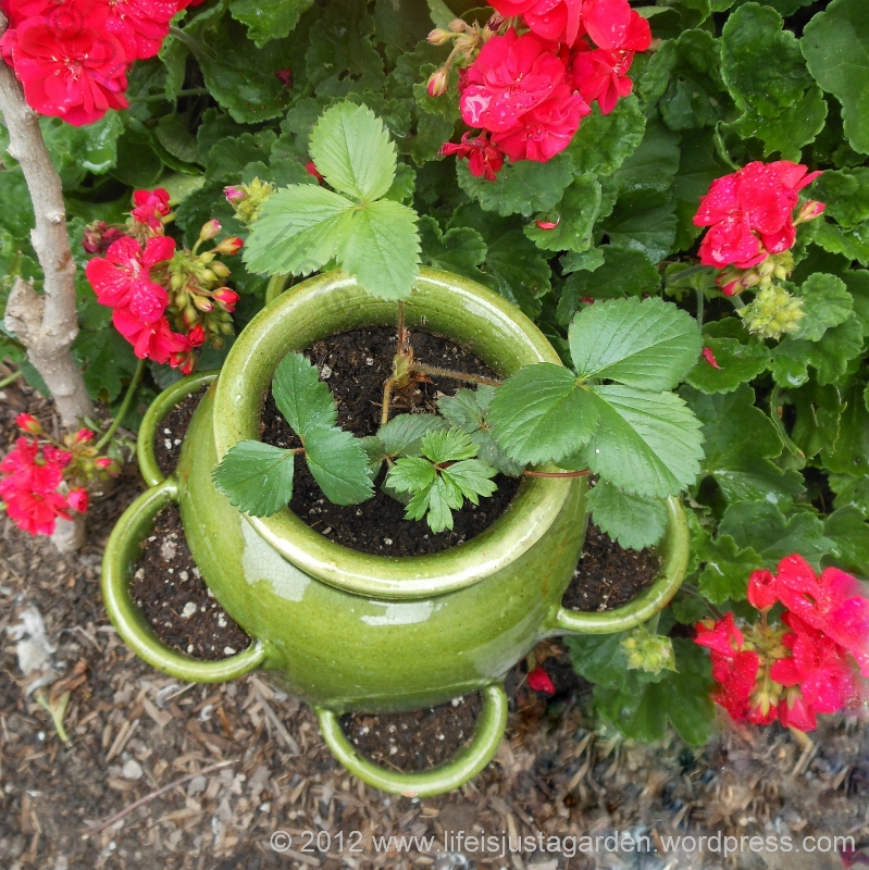 strawberry pot with cups for runners